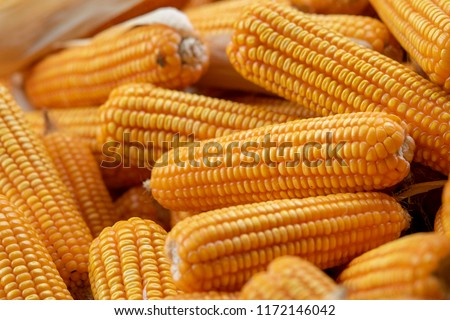 Corn or Maize for processing into yellow fodder. Close up frame. #1172146042