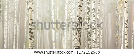 Beautiful birch trees with white birch bark in birch grove among other birches with white birch bark #1172152588