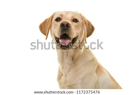 Portrait of a blond labrador retriever dog looking at the camera with mouth open seen from the side isolated on a white background #1172375476