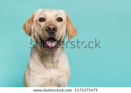 Portrait of a blond labrador retriever dog looking at the camera with mouth open seen from the front on a blue turquoise background #1172375479