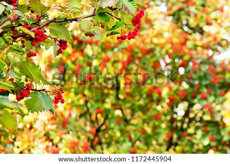 Red fruits Berries of Kalina on a tree background #1172445904
