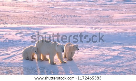 Polar bear with cubs in Canadian Arctic Royalty-Free Stock Photo #1172465383