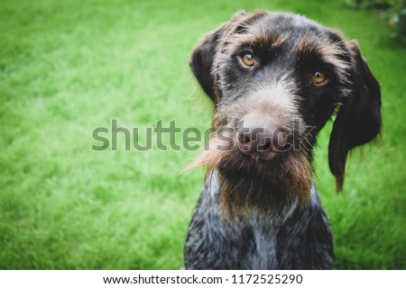 Dog is sitting on green grass outside. German wirehaired pointer looking in the camera. #1172525290