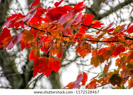 Maple tree branch with red leaves in autumn colored woodland.Nature Uk.Moody and melancholic autumn theme.Backlit bokeh and blurred tree branches in background.Seasons change in Britain. #1172528467