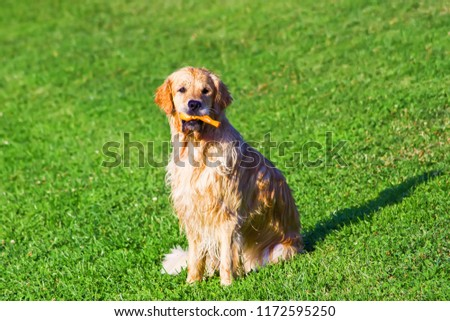 Golden retriever dog portrait with toy bone outside on the grass waiting #1172595250