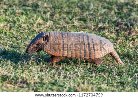 Six banded armadillo photographed in Corumba, Mato Grosso do Sul. Pantanal Biome. Picture made in 2017.