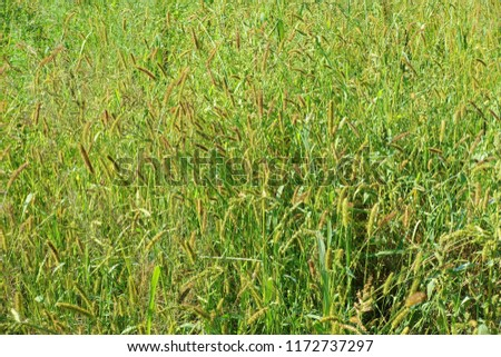 Flowering  plant of green grass. Natural impressionism. #1172737297