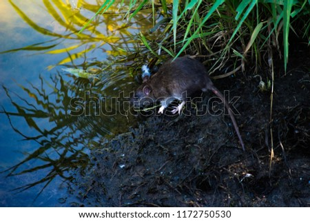 Gray Rats (Rattus) is a big city problem. A rat runs among the trunks of fallen trees near the river in search of food in the water.