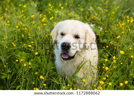 Profile portrait of happy golden retriever dog lying in the buttercup field in summer #1172888062