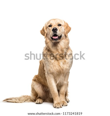 Golden retriever dog sitting and panting, isolated Royalty-Free Stock Photo #1173241819