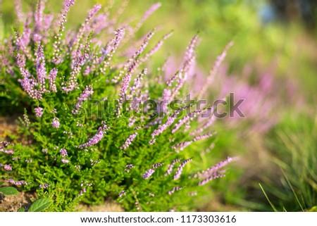 Flowering Calluna vulgaris. flowering bushes calluna vulgaris selective focus #1173303616