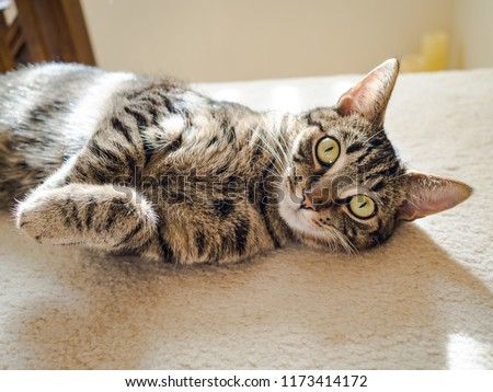 Cat with big eyes looking weird and rolling on the floor at home. #1173414172