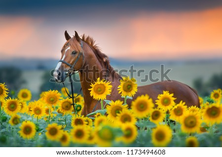 Red stallion in bridle portrait in sunflowers #1173494608