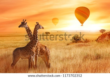 Giraffes in the African savanna against the background of the orange sunset. Flight of a balloon in the sky above the savanna. Africa. Tanzania. #1173702352