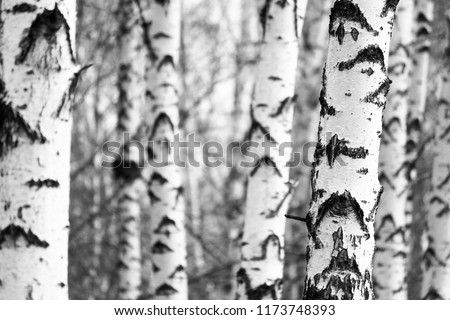 Black and white photo of black and white birches in birch grove with birch bark between other birches #1173748393