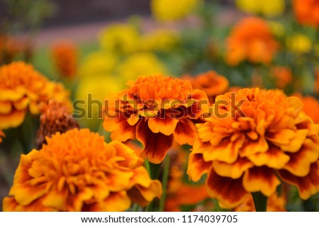Macro shot of marigold flowers in orange colors with beautiful blurry background. #1174039705