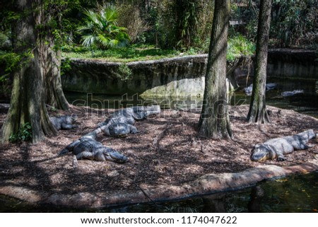 Four big alligators in front resting on a small island with trees two of them on the back of the picture in the water.
