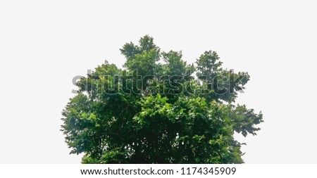 Tree isolated,Tree cutting on a white background. Tree editing The white background #1174345909