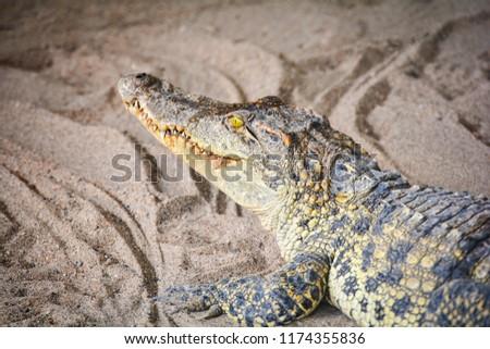 Crocodile lying on Sand / Large freshwater crocodile in farm #1174355836
