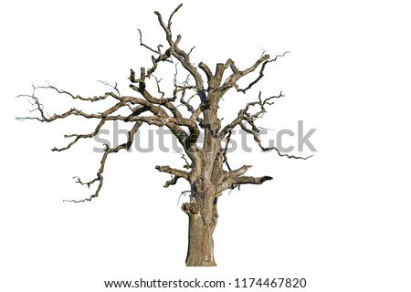 An old dead oak tree is isolated on a white background. Isolate the giant dead oak trees. Dead hollow oak tree isolated on white background #1174467820