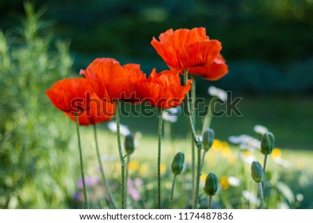 Garden Papaver flowers. Oriental poppy flower. Papaver orientale is magnificent perennial plant in the garden. Oriental poppy flower. Papaver orientale is magnificent perennial plant in the garden #1174487836