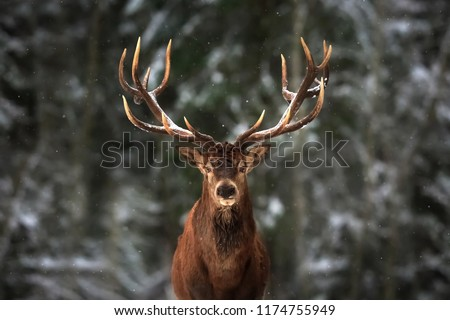 Noble deer male in winter snow forest.  #1174755949