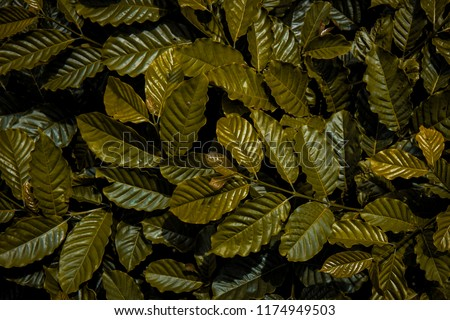 Green leaves Coffee tree and background #1174949503