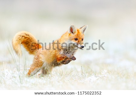Red Fox jumping, Vulpes vulpes, wildlife scene from Europe. Orange fur coat animal hunting in the nature habitat. Fox jump on the green forest meadow with first snow. Wildlife scene from nature. #1175022352