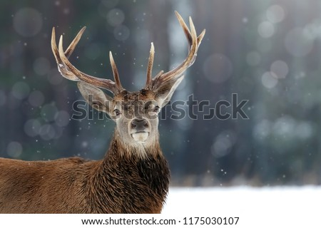 Noble deer male in winter snow forest. Winter christmas image. #1175030107