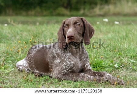german shorthaired pointer, german kurtshaar one spotted puppy  lying on green grass, looking straight into the eyes, intelligent look and sweet dog, in the mouth grass, close-up portrait #1175120158