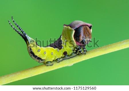 the puss moth - Cerura vinula #1175129560