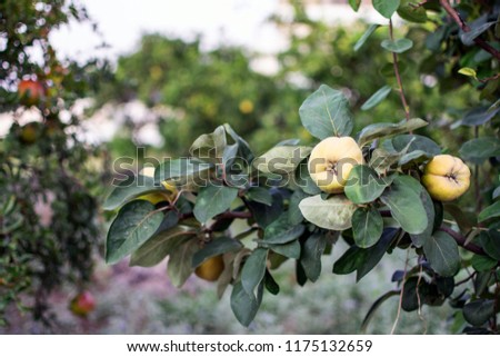 Quince on a tree ready for harvest. #1175132659