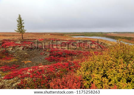 Autumn in the tundra. Yellow spruce branches in autumn colors on the moss background. Tundra, Russia.Beautiful landscape of forest-tundra,