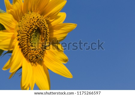 Sunflower and blue sky  #1175266597