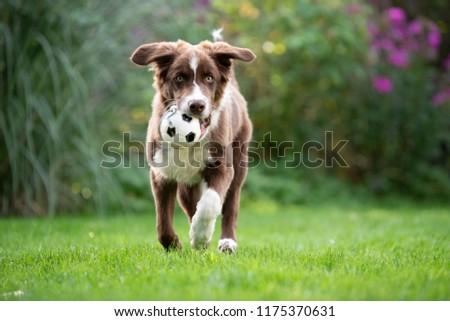 Border Collie puppy  #1175370631
