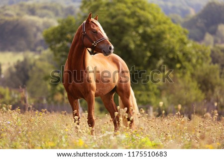 Welsh pony running and standing in high grass, long mane, brown horse galloping, brown horse standing in high grass in sunset light, yellow and green background #1175510683
