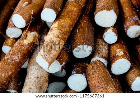 Cassava, also called manioc, yuca, balinghoy, mogo, mandioca, kamoteng kahoy, tapioca and manioc root, a woody shrub of the Euphorbiaceae family native to South America. #1175667361