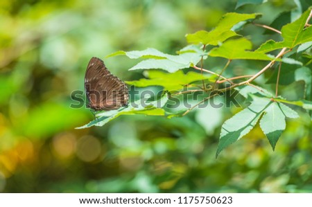 Beautiful brown and black butterfly with closed wings sitting on maple leaves. #1175750623
