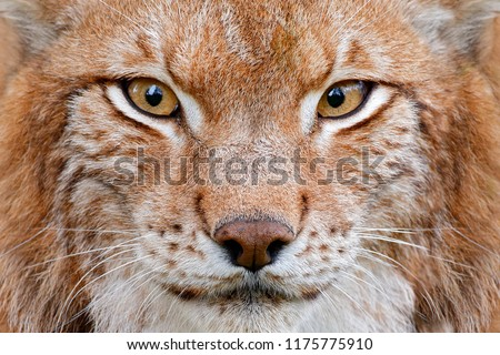 Lynx, detail face portrait with beautiful eyes. Cute fur of Eurasian lynx, animal in habitat. Wild cat from Germany. Close-up detail portrait. Lynx in orange autumn forest. Wildlife scene from nature. #1175775910
