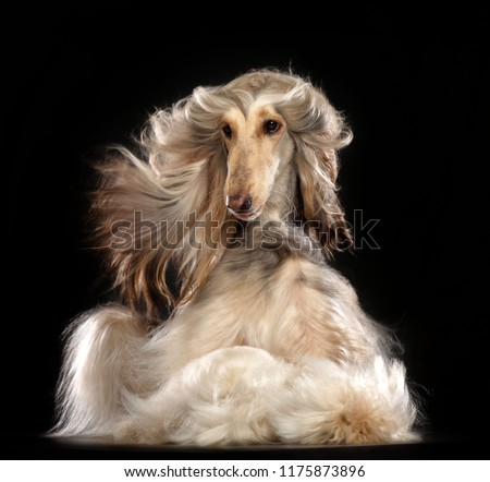 Afghan hound Dog  Isolated  on Black Background in studio  #1175873896