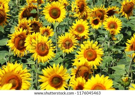 Blooming golden sunflower  #1176045463