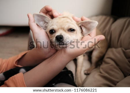 Closeup portrait of small funny beige mini chihuahua dog, puppy