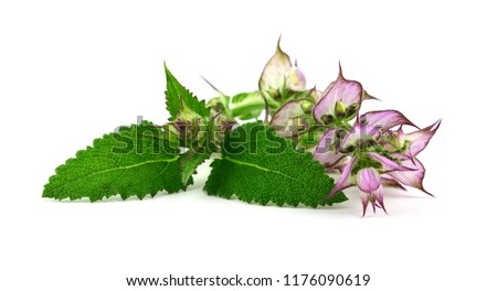 Clary Sage (Salvia Sclarea) Medicinal Herb Used in Cosmetics and Pharmaceutics. Primarily Grown for Its Essential Oil. Isolated on White Background. #1176090619