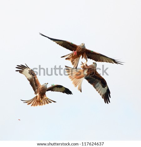 Three Red Kites in flifgt fighting over a piece of meat #117624637