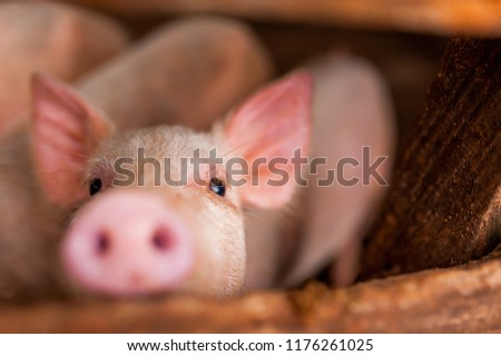 close up of cute pink pig in wooden farm with black eyes looking in camera #1176261025