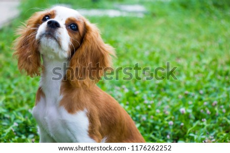 King Charles Charles  with grass as the background #1176262252