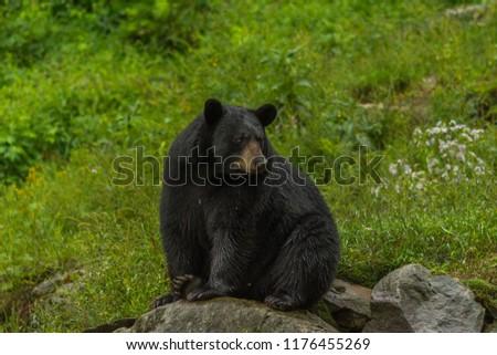 Black bear sitting on a rock #1176455269