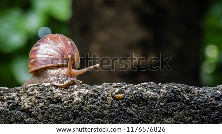 Big snail in shell crawling on road, summer day in garden, A common garden snail climbing on a stump, edible snail or escargot, is a species of large, edible, air-breathing land. #1176576826