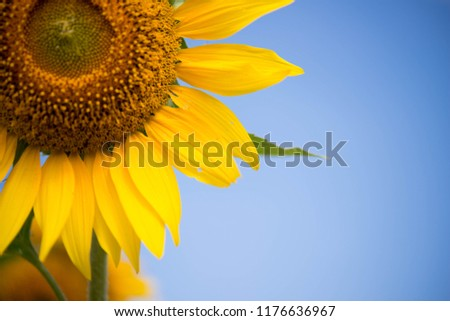A lot of sunflower in farm #1176636967