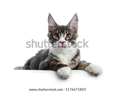 Handsome blue tabby with white Maine Coon cat kitten laying down side ways with  paws hanging over edge, looking curious straight in lens isolated on white background #1176671803